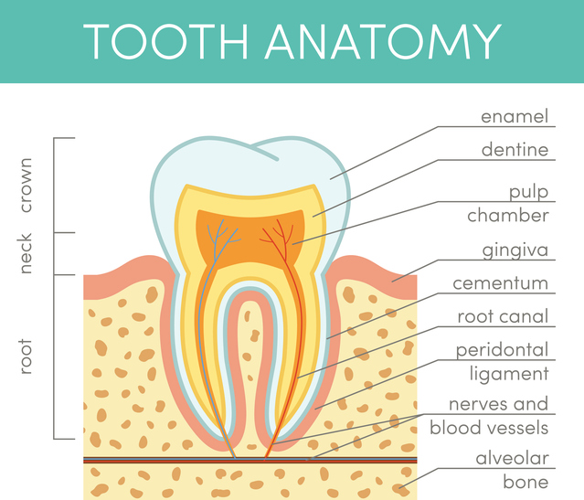 A diagram of tooth anatomy in East Wenatchee, WA